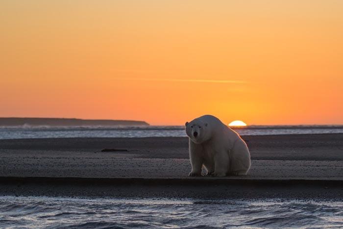 Девушка оправилась на Аляску, чтобы сфотографировать белых медведей, но там нет снега!