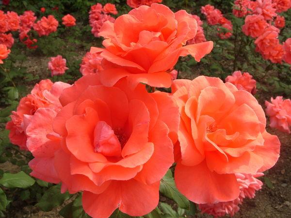 Роза сорт Коралловый Сюрприз