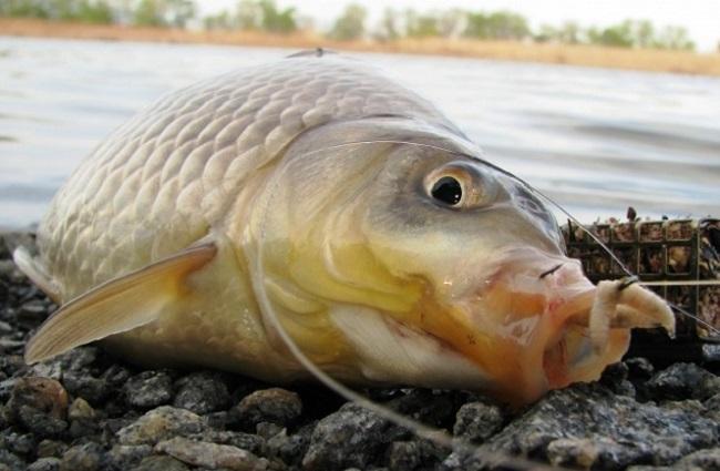 На какой опарыш не клюнет ни одна рыба, как ни старайся