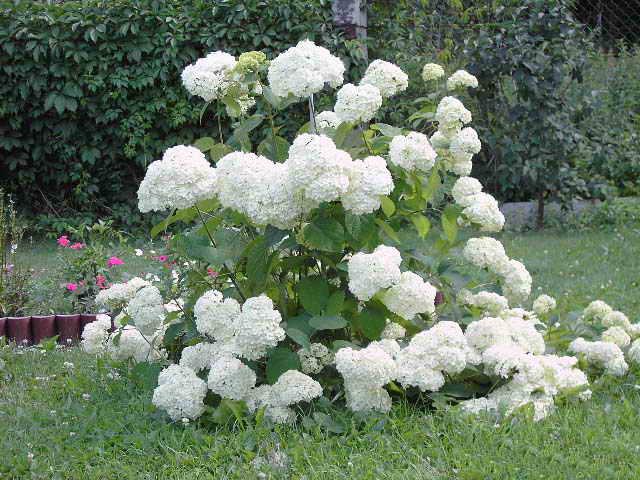 10 кустарников, цветущих весной