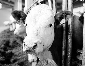 Миллионы тонн молока оказались «бумажными»