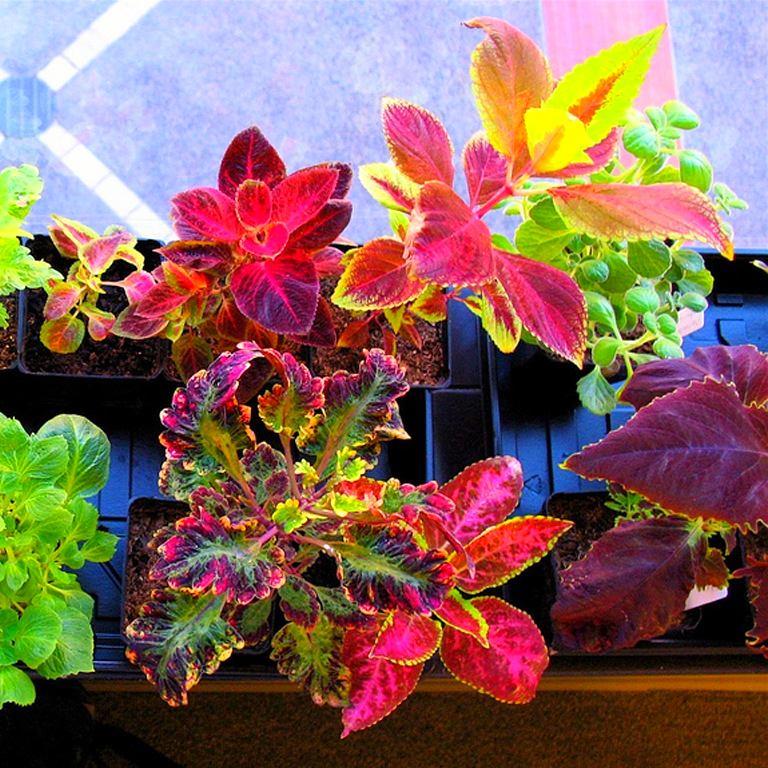 Красочные цветы колеусы на балконе