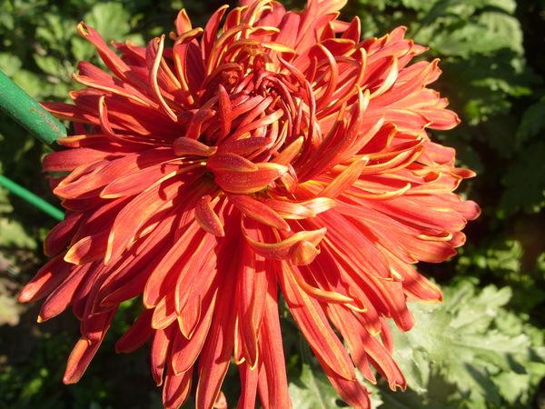 Хризантема сорт Факел