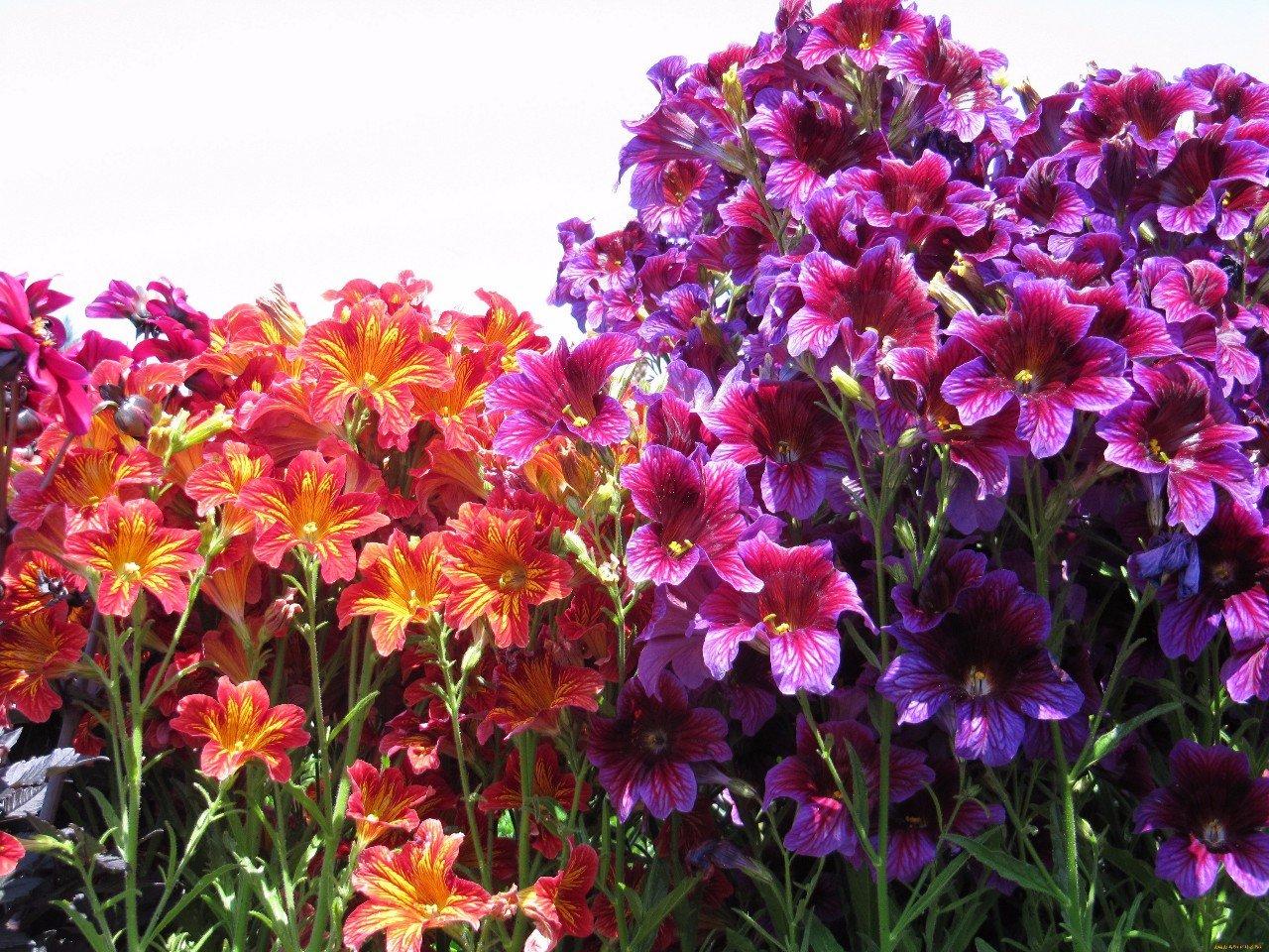 Незаслуженно забытые растения: Cальпиглоссис