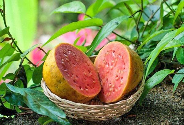 Представляем вашему вниманию тропическое яблоко или экзотический фрукт гуава