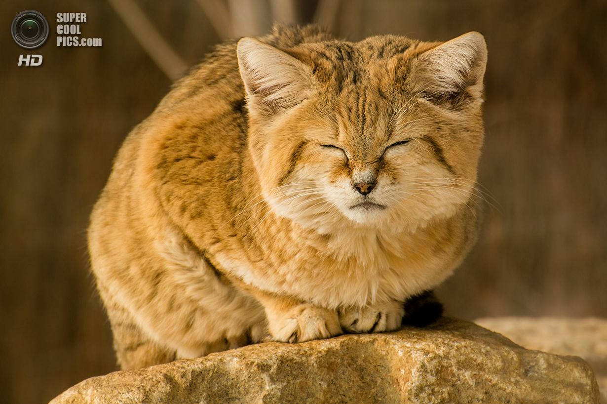 для барханный кот купить киев