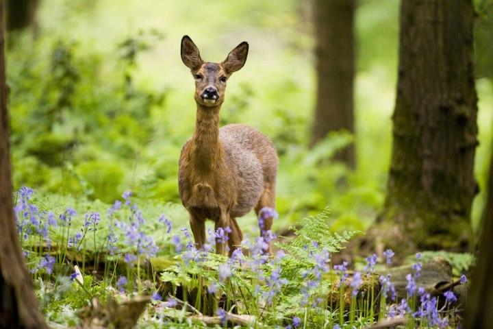 «Косуля в лесу в колокольчиками», Дон Хупер Фотоконкурс Королевского садоводческого общества 2014 года