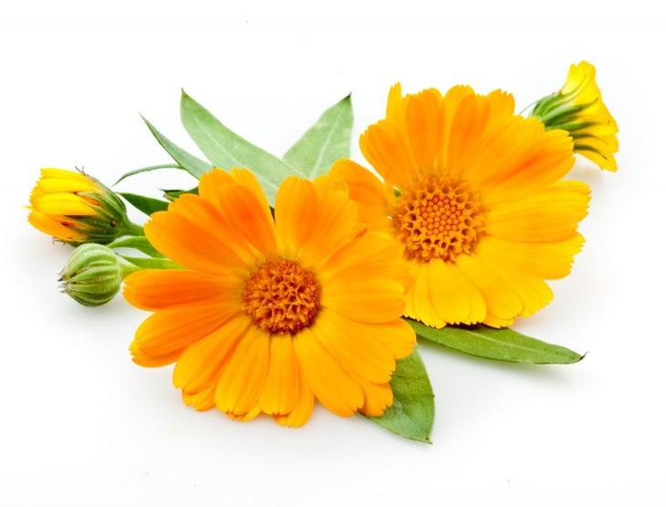целебные цветы ноготков