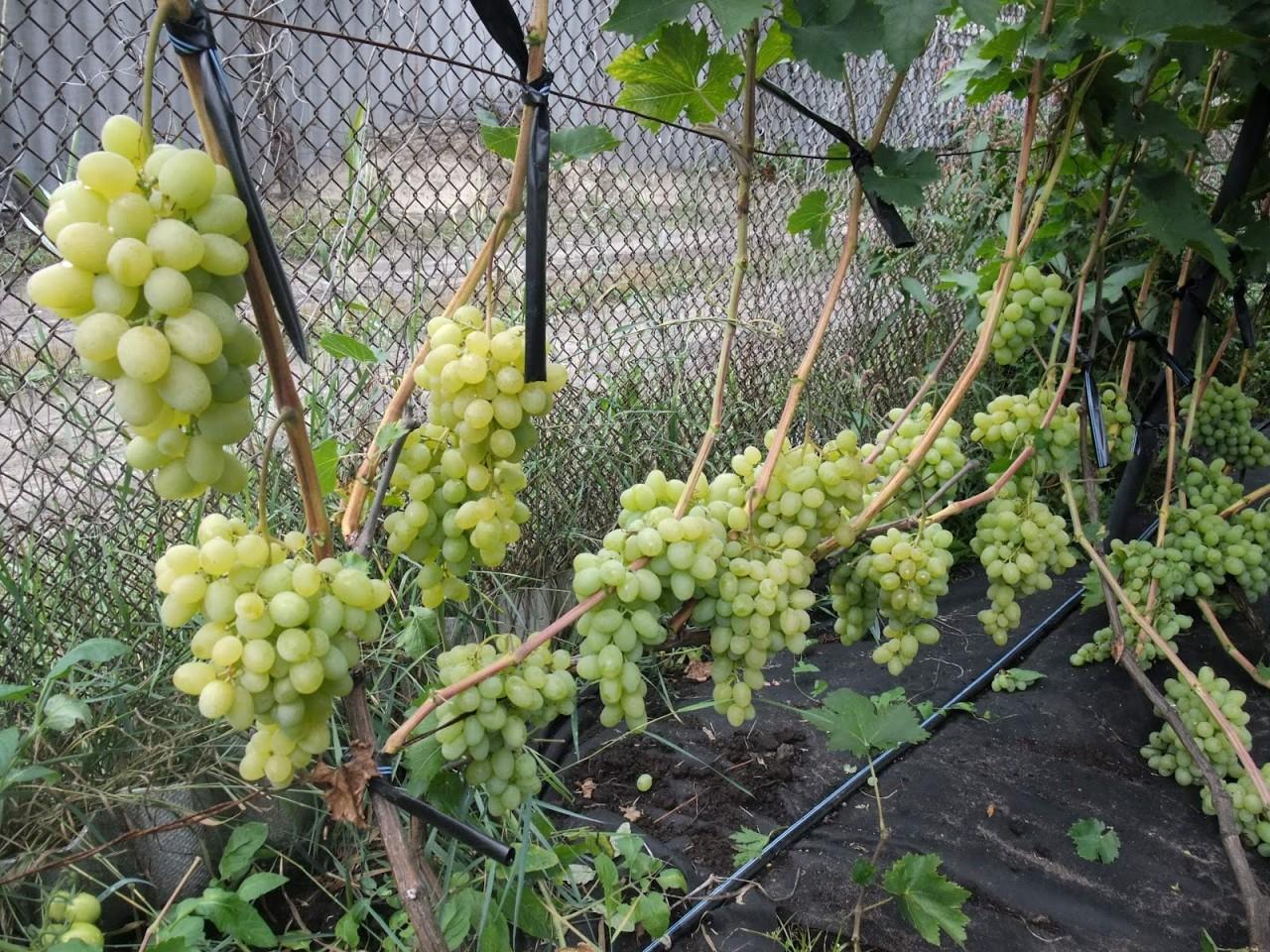 Еще раз о поливах винограда