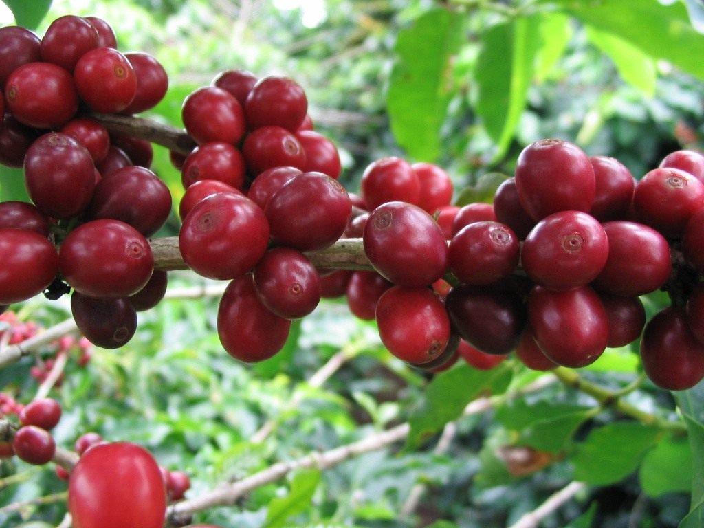 Кофе — от саженца до чашки. Выращивание и уход в домашних условиях