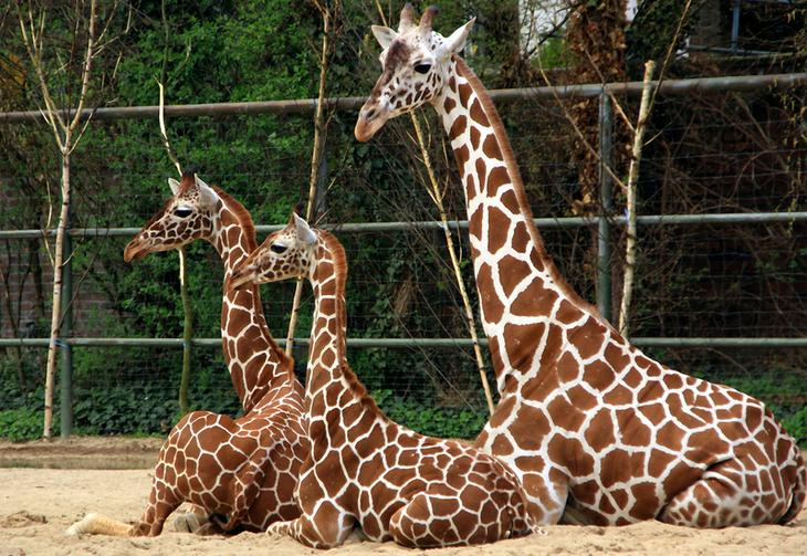 Лебединые жирафы. Когда-то жирафы умели плавать...