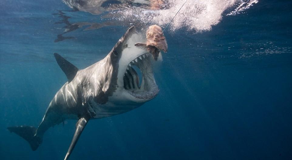Дайвер из Флориды обнаружил самую большую белую акулу в мире