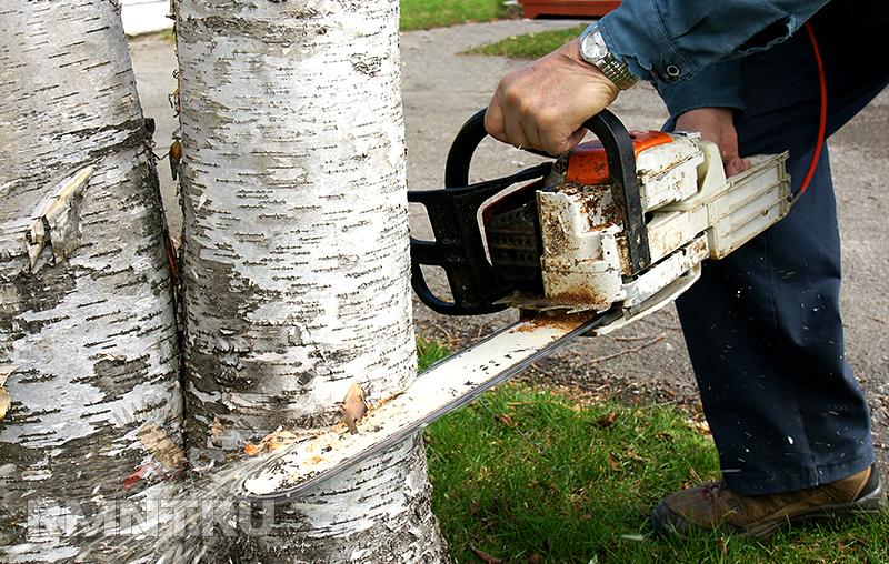 Как спилить дерево по закону и без штрафа