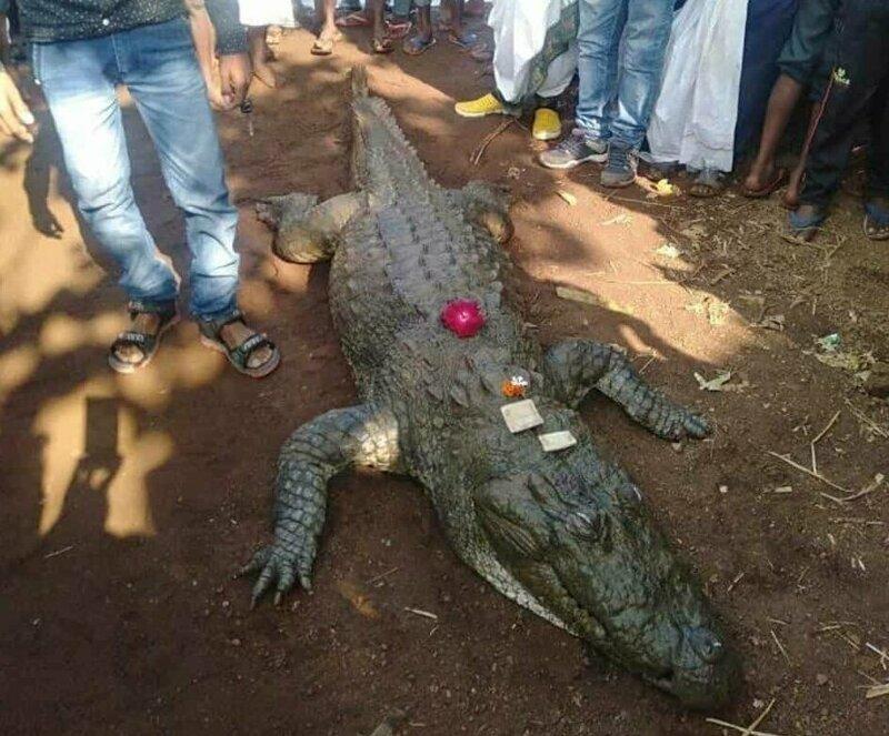 Почестные похороны дружелюбного крокодила