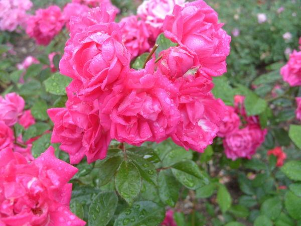 Роза сорт Мальчик-с-Пальчик