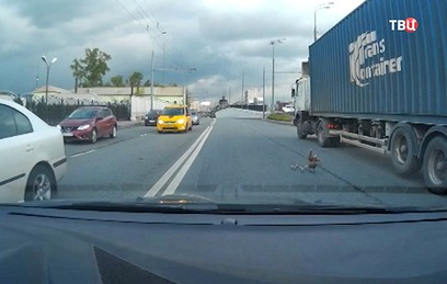 На Рижской эстакаде водители помогли уткам перейти дорогу