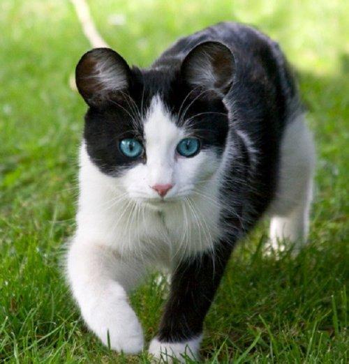 Забавные кошки с необычными ушами