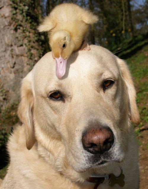 Необычная и очаровательная дружба между животными разных видов