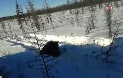 Расправа вахтовиков над бурым медведем в Якутии попала на видео