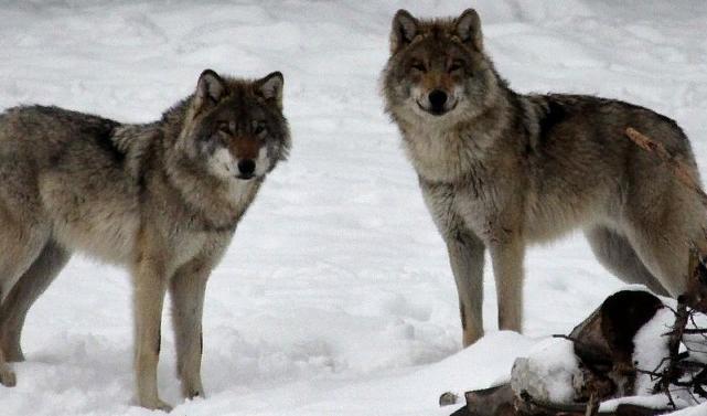 Вслед за медведями Архангельскую область атаковали волки