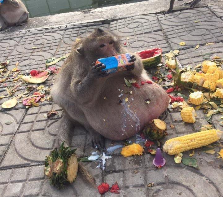Пухлая макака по кличке Дядюшка Жиртрест объедает туристов в Таиланде