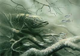 щука ядовитые рыбы