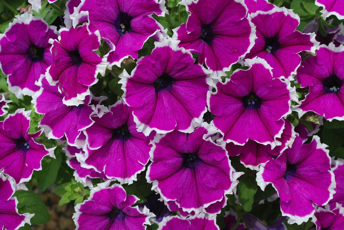 Фиолетово-белые петуньи на балконе