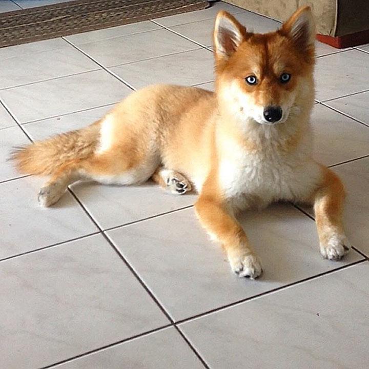 Помски: необычная собака-лиса покорила интернет-пользователей