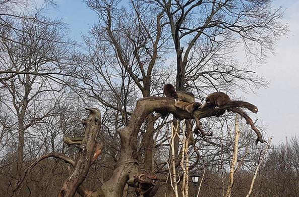 На дереве выросли гроздья енотов