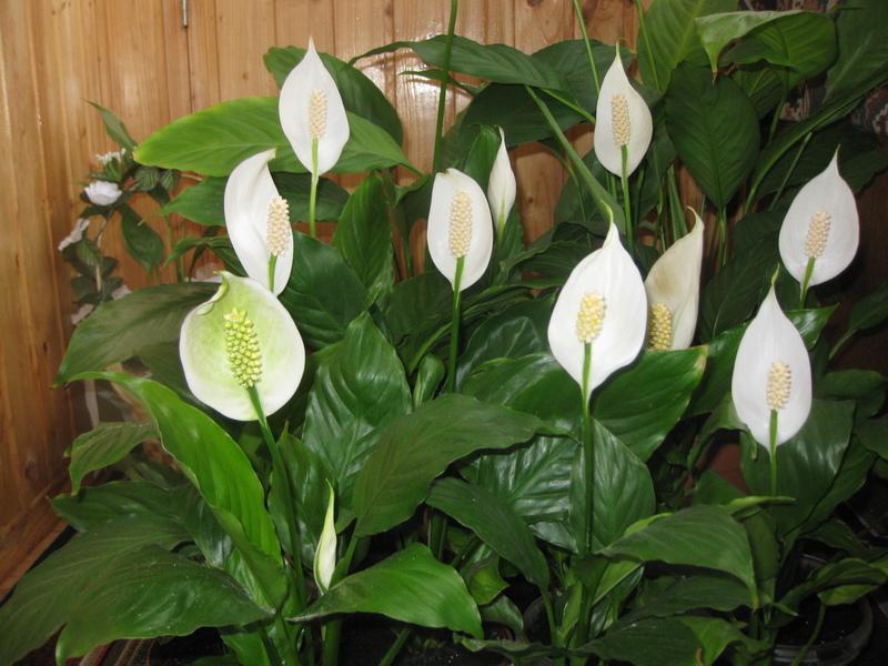 Комнатное растение - СПАТИФИЛЛУМ объявление 58818136