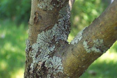 Что делать с лишайниками на деревьях