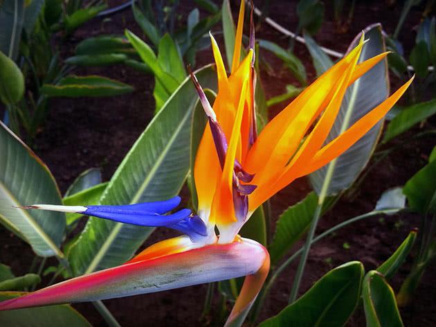 Цветок стрелиция — королевск…