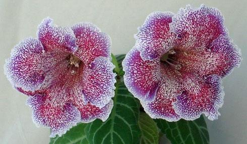 Мой любимый домашний цветок глоксиния