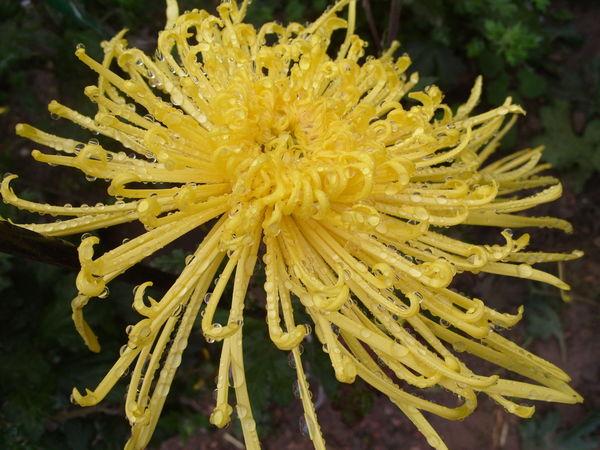 Хризантема с пауковидной формой соцветия сорт Gold Strings