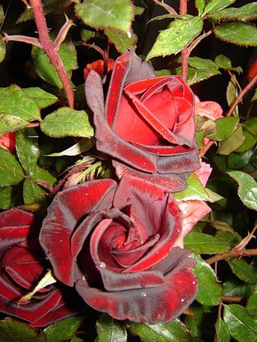 krasno beliy rozi