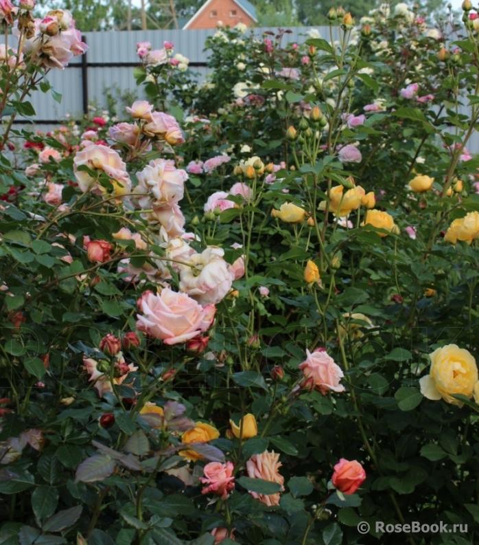 Сад роз Галины.
