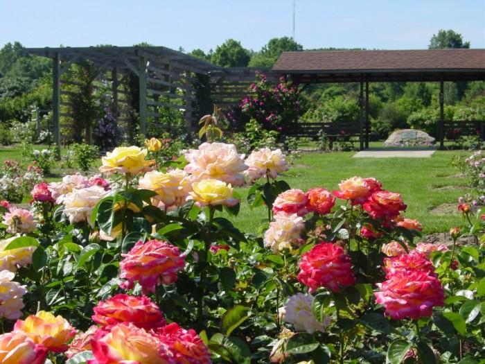 Как правильно сажать розы Сад и Огород