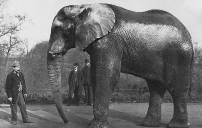 Самые известные в мире слоны и их трагические судьбы