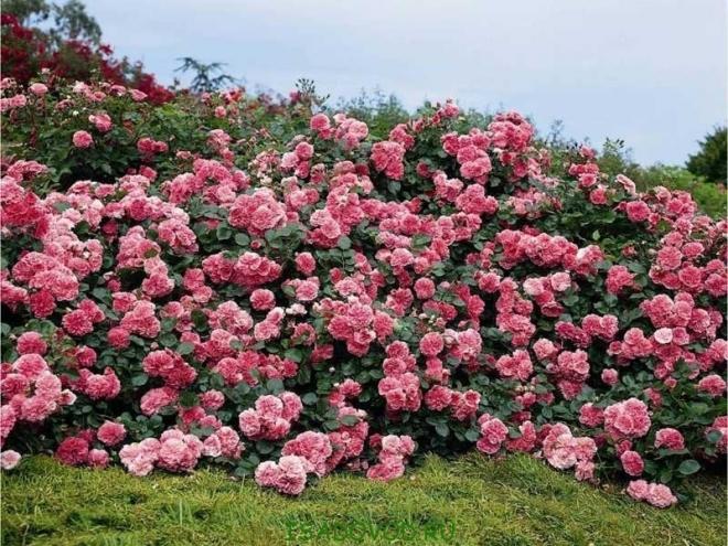 Сайт о самых красивых цветах - Классификация роз (окончание)