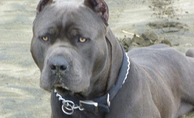 Собака, которую запретили в половине стран мира