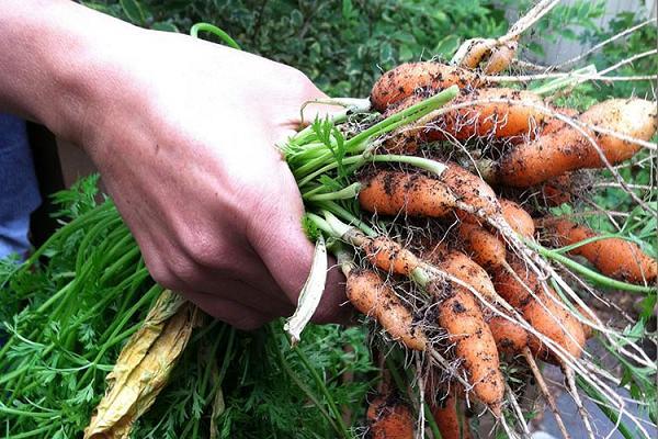 Как правильно прореживать морковь?