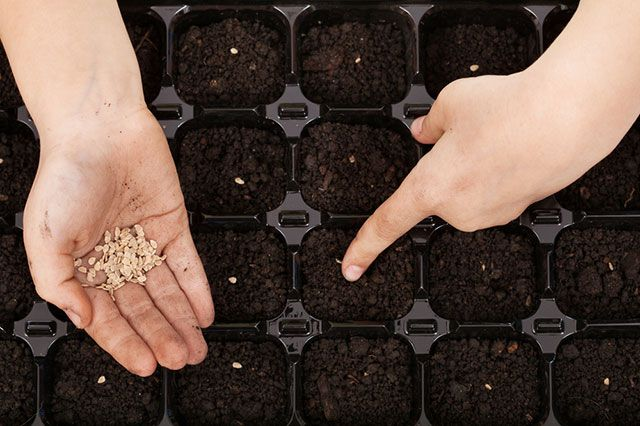 Томат: готовимся к посеву