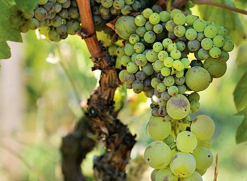 Картинки по запросу болезни винограда