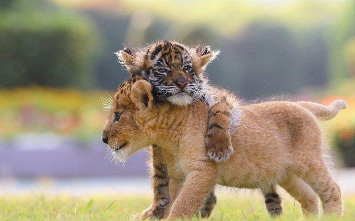 Милота милотой: котята-дружбаны из сафари-парка