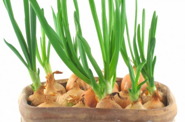 5 видов зелени на одном подоконнике дома!