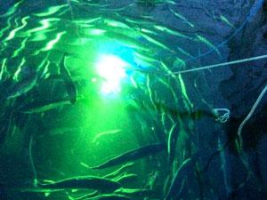 Подводный дрон, стреляющий из лазера по вшам на лососе (видео)