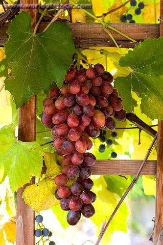Виноград: как правильно ухаживать, поливать, проводить обрезку и укрывать на зиму