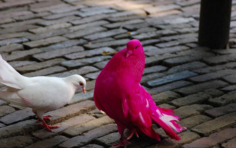 Разоблачаем! Существуют ли розовые голуби?