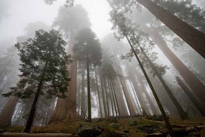 Секвойя. Дерево — гигант