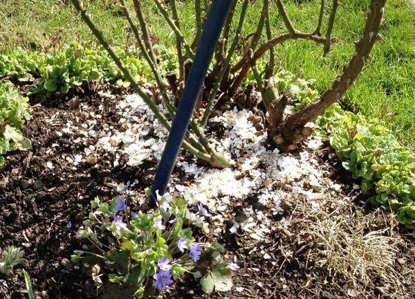 Обязательно собираем яичную скорлупу для сада. Включаем особый «режим сбора»